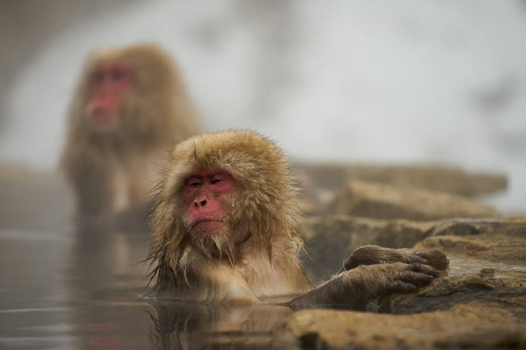 温泉,サル