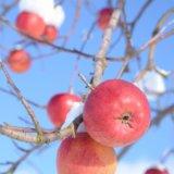 りんご,朝日町