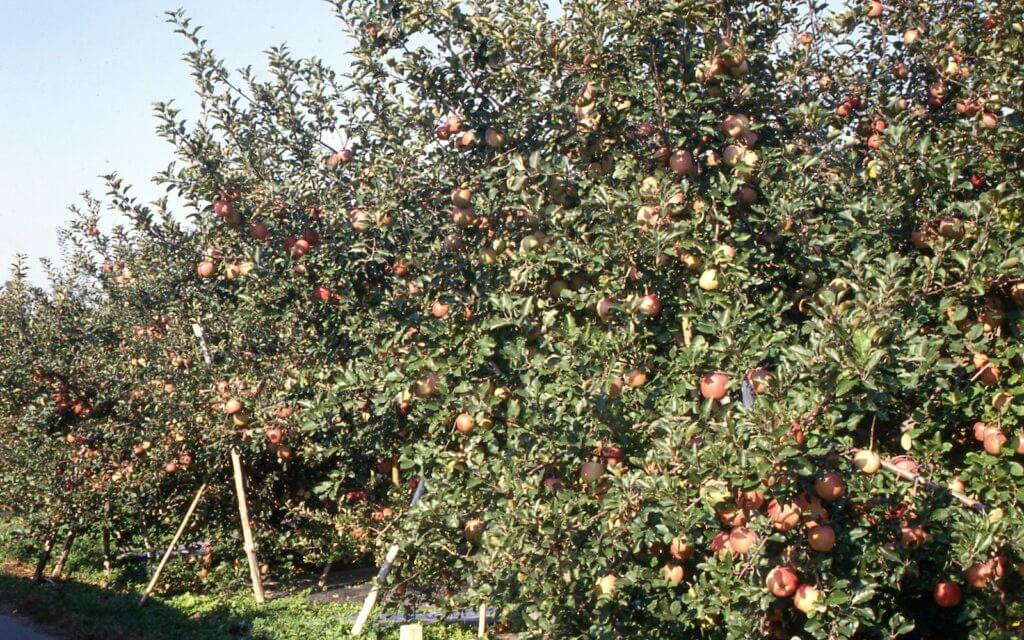 朝日町,りんご