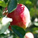 朝日町のりんご