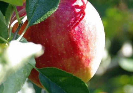 パイナップルりんご(山形・朝日町)名前の由来!品種や特徴・歴史もまとめてみた